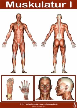 Anatomie Poster - Muskulatur I - DIN A3 - laminiert - Verlag Hawelka